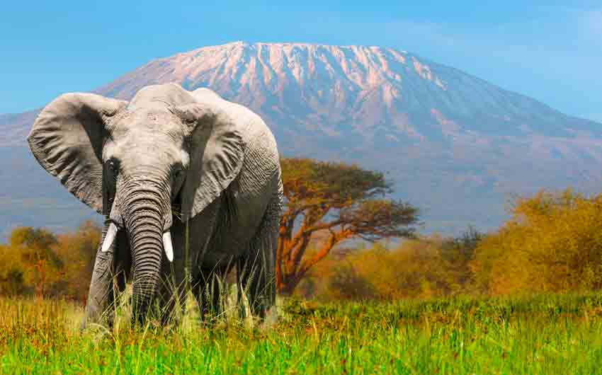 Elephant grazing at Amboseli with Kilimanjaro