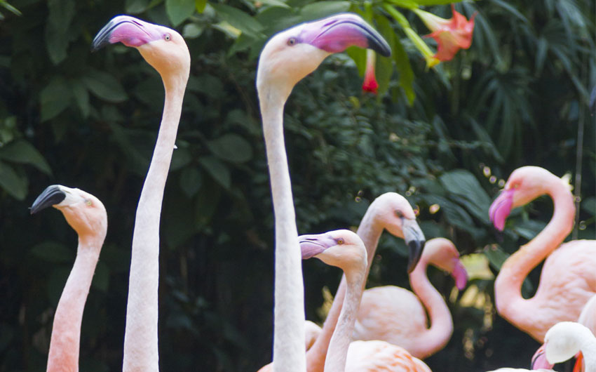 Flamingos, tropical birds at the Falls