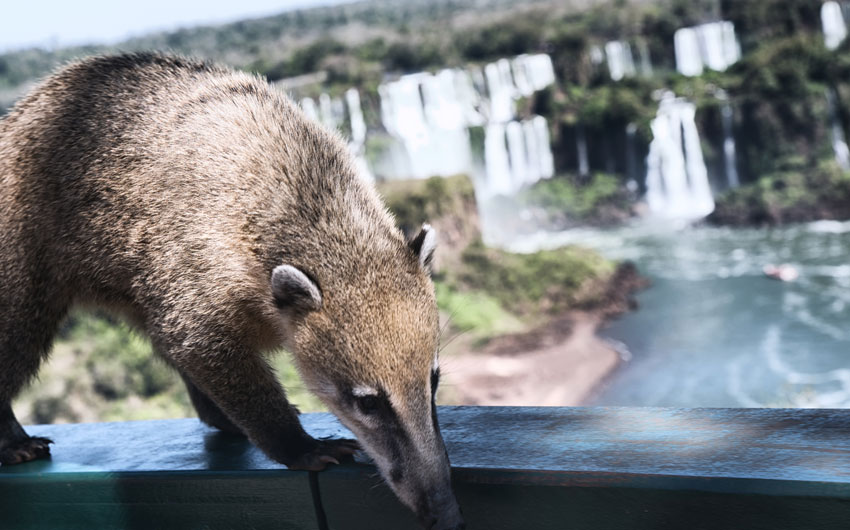 Coati by th Iguassu Falls