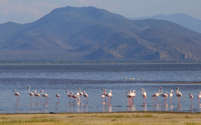 Flamingos wading in Lake Manyara