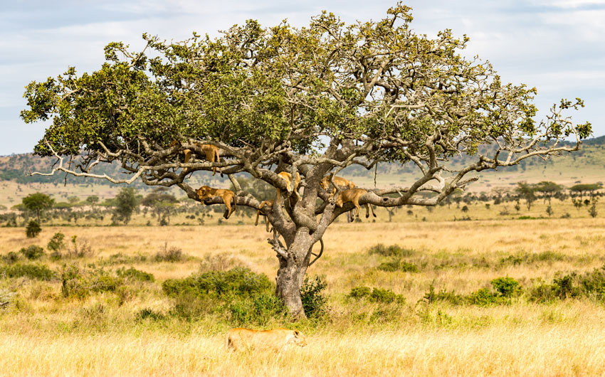 Lions, Serengeti National Park,