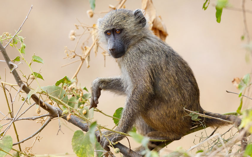 Yellow Baboon, Tarangire National Park