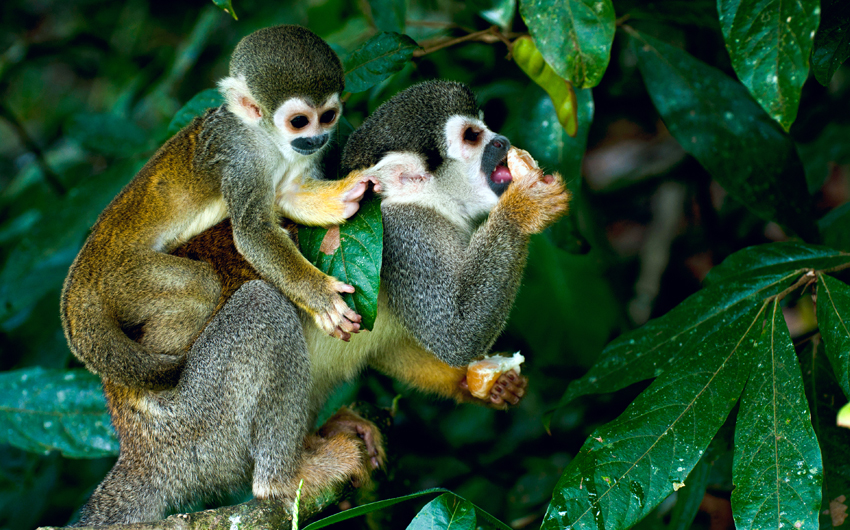 Squirrel Monkey in Amazon