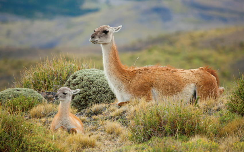 Guanaco family in Torres del Paine national park