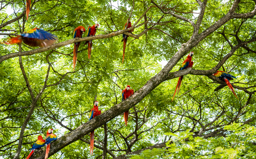 Flock of scarlet macaws in the wild, Guanacaste Tropical Rainforest