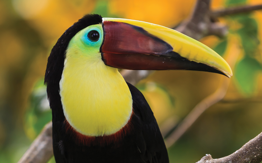 Toucan (Ramphastos toco) sitting on tree branch
