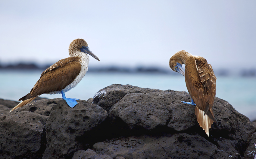 The Blue-Footed Boobies