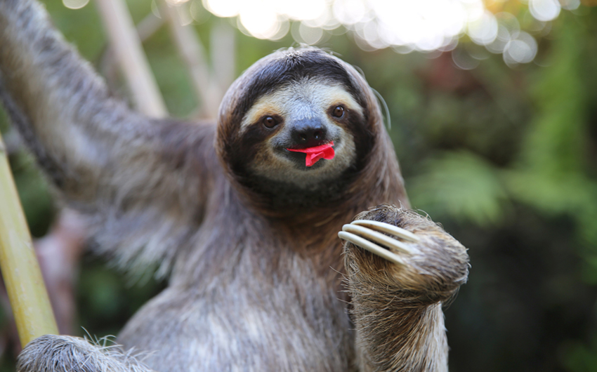 Happy Sloth Eating Hibiscus Flowers