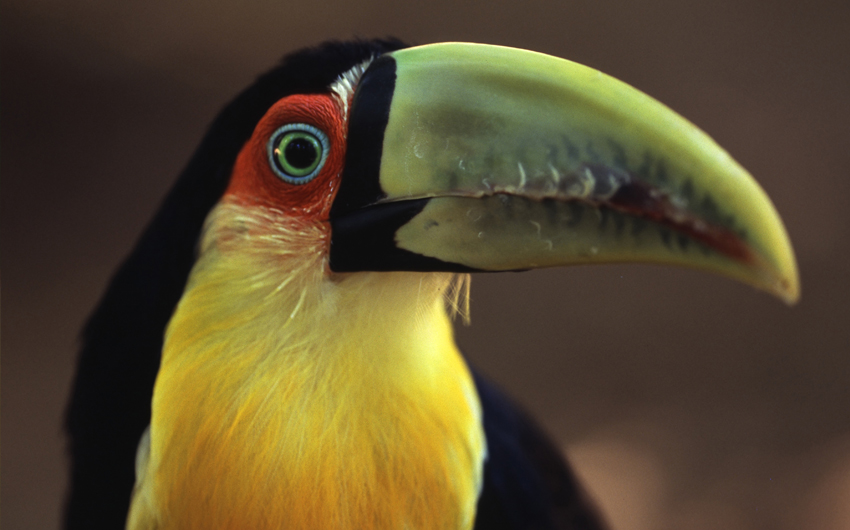 Toucan in the bird park near the national park Foz do Iguacu in Brazil