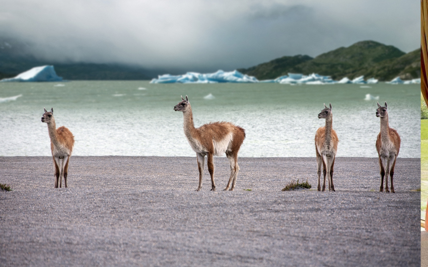A group of Guanaco (Lama guanicoe) in Torres del Paine National Park in Patagonia